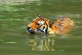 Siberian Tiger - PhotoDune Item for Sale
