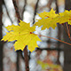 Autumn Yellow Maple Leaves - VideoHive Item for Sale