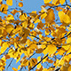 Autumn Bright Yellow Birch Leaves - VideoHive Item for Sale