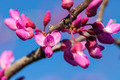 Spring - New growth and flowers on a Redbud tree - PhotoDune Item for Sale