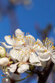 Spring - New growth and flowers on a Mexican Plum tree - PhotoDune Item for Sale