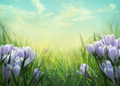 Crocus spring background - PhotoDune Item for Sale