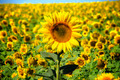 Landscape with sunflower - PhotoDune Item for Sale