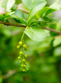 Green leaves with bud - PhotoDune Item for Sale