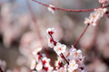 Plum blossom - PhotoDune Item for Sale
