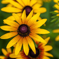 Yellow sunflowers on a background of grass. - PhotoDune Item for Sale
