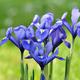 blue iris - PhotoDune Item for Sale
