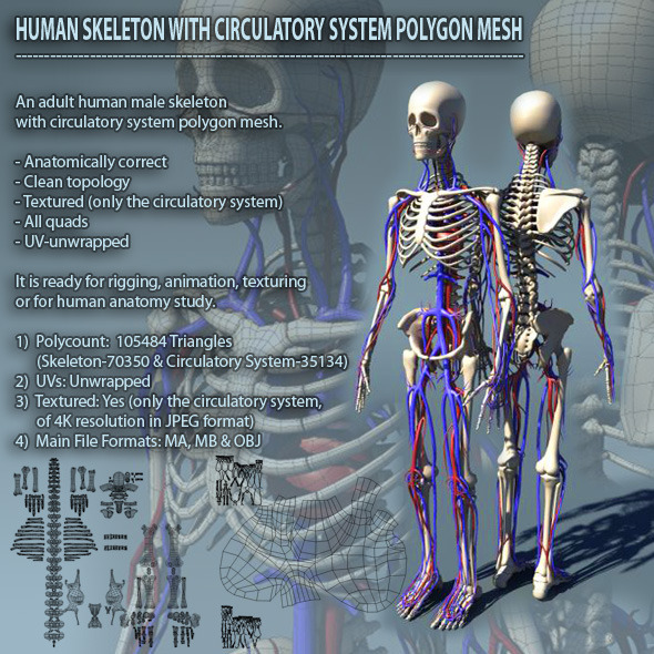 3DOcean Human Skeleton with Circulatory System PolygonMesh 1092613