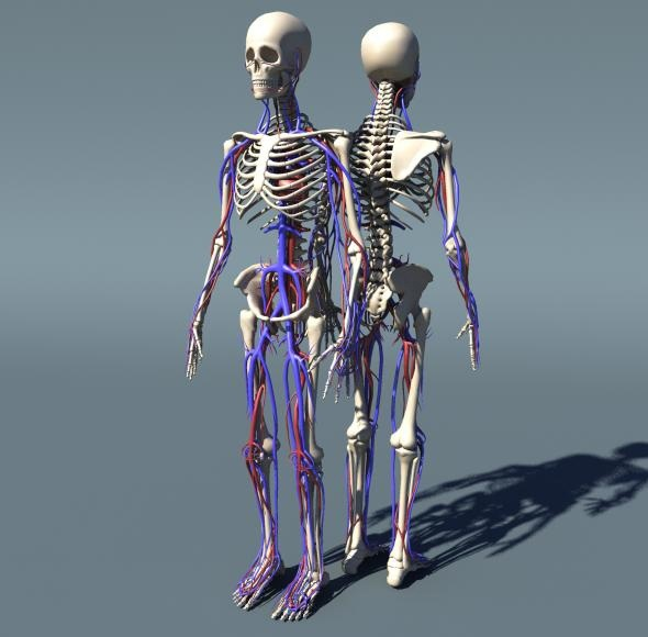 Human Skeleton With Circulatory System Polygonmesh By