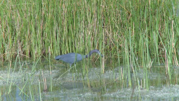 Little Blue Heron 2 Of 3