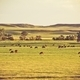 Cows on Summer Pasture - PhotoDune Item for Sale