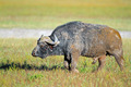 African buffalo - PhotoDune Item for Sale