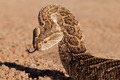 Defensive puff adder - PhotoDune Item for Sale