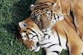 tiger resting - PhotoDune Item for Sale