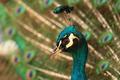 peacock - PhotoDune Item for Sale