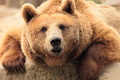 the face of a bear - PhotoDune Item for Sale