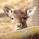 Roe deer fawn - PhotoDune Item for Sale