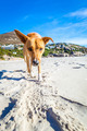 dog playing at the beach - PhotoDune Item for Sale