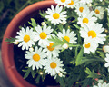 Daisies in a pot viewed from above - PhotoDune Item for Sale