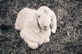 little lamb - black and white photo - PhotoDune Item for Sale
