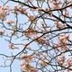 Tebebuia Flower (Pink trumpet) blooming, Tabebuia rosea - PhotoDune Item for Sale