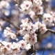 Almond Branches In Springtime - VideoHive Item for Sale