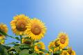 Sunflowers on plant - PhotoDune Item for Sale