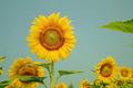 Vintage of Sunflowers on plant - PhotoDune Item for Sale
