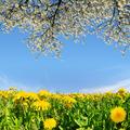 Blooming dandelions  - PhotoDune Item for Sale