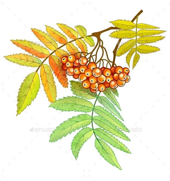 GraphicRiver Autumn Branch of Rowan with Berries and Leaves 10930044
