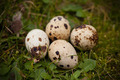 Quail Eggs On The Grass - PhotoDune Item for Sale