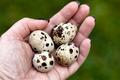 Quail Eggs In Hand - PhotoDune Item for Sale