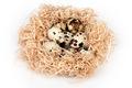 Quail Eggs Nest - PhotoDune Item for Sale