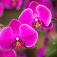 pink phalaenopsis orchid flower - PhotoDune Item for Sale
