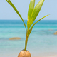 A seed of a palm tree ( coconut ) growing on beautiful beach - PhotoDune Item for Sale