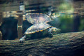 big turtle in the water swims in the wild - PhotoDune Item for Sale