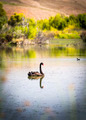 Black Swan - PhotoDune Item for Sale