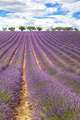 Vertical view of lavender field - PhotoDune Item for Sale