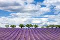 Horizontal view of lavender field - PhotoDune Item for Sale