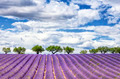 View of lavender field - PhotoDune Item for Sale