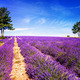 LAVENDER IN SOUTH OF FRANCE - PhotoDune Item for Sale