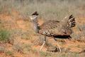 Displaying kori bustard - PhotoDune Item for Sale