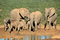 African elephant family - PhotoDune Item for Sale