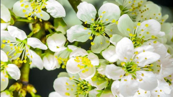 Wild Plum Flower 5