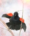 Red Winged Blackbird Watercolor - PhotoDune Item for Sale