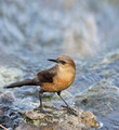Boat-Tailed Grackle Female - PhotoDune Item for Sale