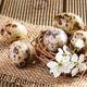 Quail eggs in the nest closeup - PhotoDune Item for Sale