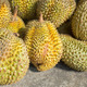 Durian fruits on the market - PhotoDune Item for Sale