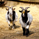 Domestic goats - PhotoDune Item for Sale