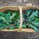 basket of freshly picked egological kale - PhotoDune Item for Sale